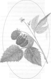 Секреты выращивания малины