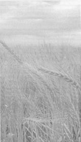 Влияние ЭМ-технологии на урожайность и качество зерна яровой пшеницы