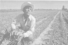 Промышленное выращивание овощей в системе естественного сельского хозяйства в США