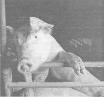 ЭМ-технология и выращивание свиней