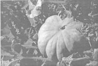 Увеличение урожая картофеля при совместном применении органического удобрения и препарата «Байкал ЭМ-1-У»