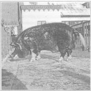 ЭМ-технология в промышленном свиноводстве