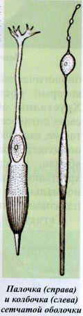 Палочка (справа) и колбочка