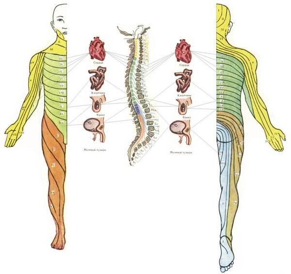 Передняя и задняя поверхность тела
