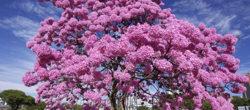 Пау Д´Арко (кора муравьиного дерева)