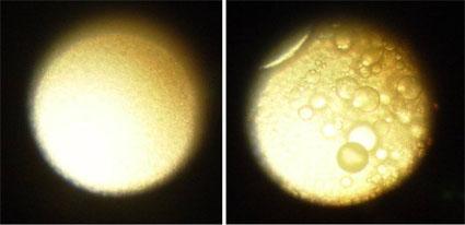 Исследование цитотоксичности эмульсии «Рициниол»