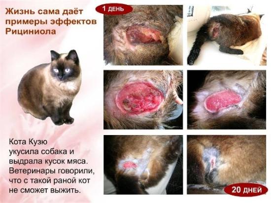 Заживление раны кота