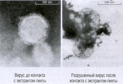 Вирус до и после контакта с экстрактом пихты