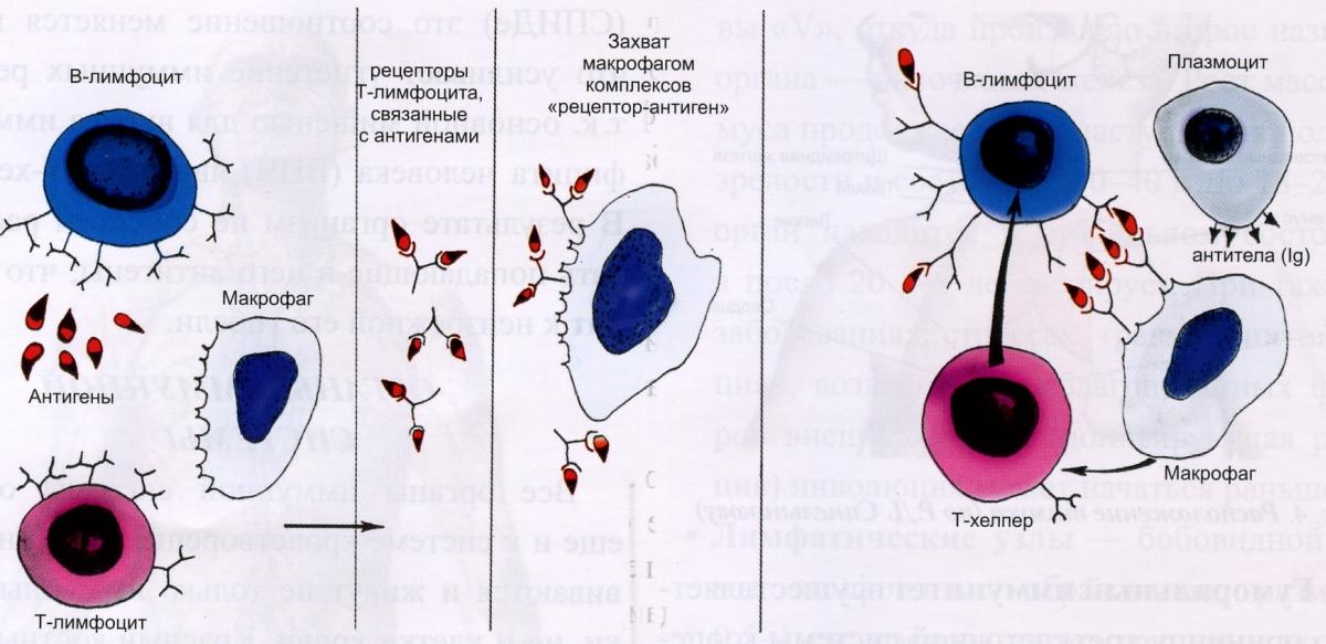 Схема взаимодействия клеток в