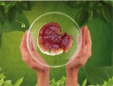 Дела сердечные: Рейши-Кан при сердечно-сосудистых заболеваниях