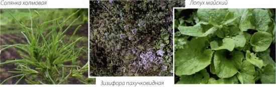 Солянка холмовая, Зизифора пахучковидная, Лопух майский