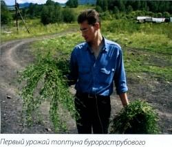 Первый урожай топтуна бурораструбового