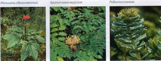 Женьшень обыкновенный-Аралия маньчжурская-Родиола розовая