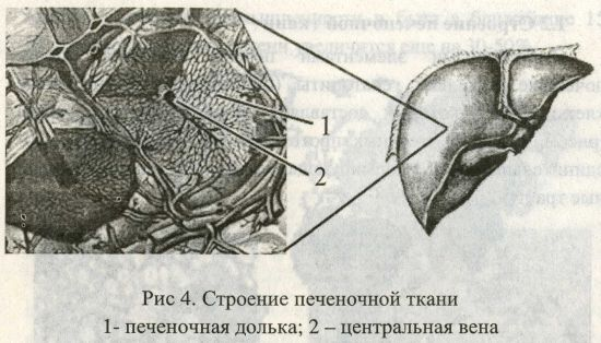 Строение печеночной ткани