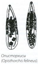 Описторхисы (Opistorchis felineus)