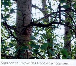 Кора осины - сырье для экорсола и популина