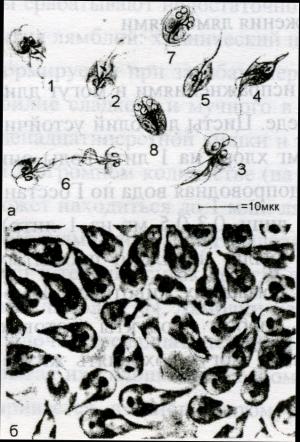 Рис. 1. Лямблии