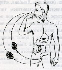 Рис. 2. Механизм заражения лямблиями
