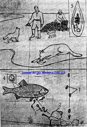 Стадии развития Opisthorchis felineus от яйца до церкария