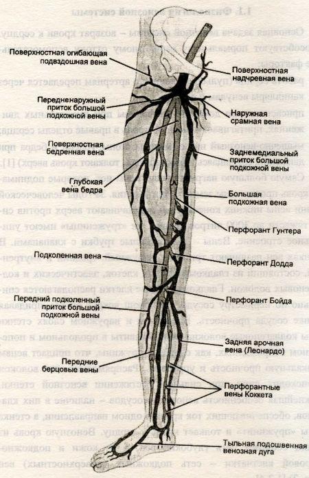 Строение большой подкожной вены