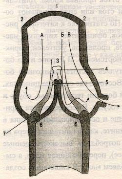 Строение клапана глубоких вен по F.Vin