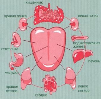 Схема расположения на языке активных зон, отвечающих за работу внутренних органов человека