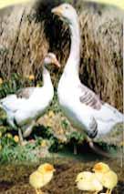 Применение ЭМ-препарата при выращивании гусей