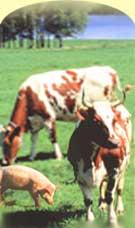 ЭМ-технология находит применение и в животноводстве