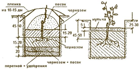 Схема подготовки ямы для посадки куста винограда
