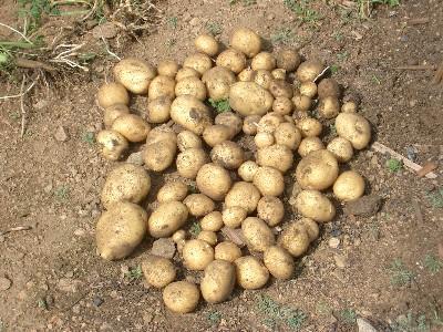 Урожай с одного куста картофеля