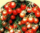 Новаторская технология выращивания томатов