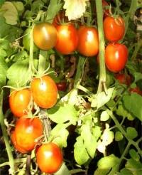 Применение продуктов ЭМ-технологии при выращивании рассады