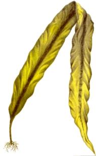 Бурая морская водоросль ламинария