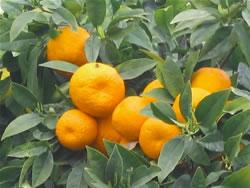 100%-ное эфирное масло апельсина
