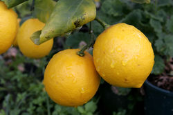 100%-ное эфирное масло лимона