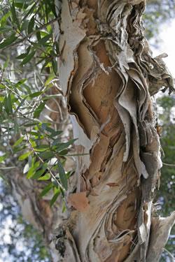 100%-ное эфирное масло чайного дерева